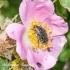 Kvapusis auksavabalis (Oxythyrea funesta) | Fotografijos autorius : Aleksandras Naryškin | © Macrogamta.lt | Šis tinklapis priklauso bendruomenei kuri domisi makro fotografija ir fotografuoja gyvąjį makro pasaulį.