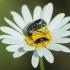 Kvapusis auksavabalis - Oxythyrea funesta   Fotografijos autorius : Vidas Brazauskas   © Macrogamta.lt   Šis tinklapis priklauso bendruomenei kuri domisi makro fotografija ir fotografuoja gyvąjį makro pasaulį.