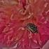Kvapusis auksavabalis - Oxythyrea funesta   Fotografijos autorius : Kęstutis Obelevičius   © Macrogamta.lt   Šis tinklapis priklauso bendruomenei kuri domisi makro fotografija ir fotografuoja gyvąjį makro pasaulį.