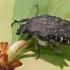 Kvapusis auksavabalis - Oxythyrea funesta | Fotografijos autorius : Gintautas Steiblys | © Macrogamta.lt | Šis tinklapis priklauso bendruomenei kuri domisi makro fotografija ir fotografuoja gyvąjį makro pasaulį.