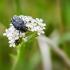 Kvapusis auksavabalis | Oxythyrea funesta | Fotografijos autorius : Darius Baužys | © Macrogamta.lt | Šis tinklapis priklauso bendruomenei kuri domisi makro fotografija ir fotografuoja gyvąjį makro pasaulį.