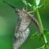 Lašalas - Heptagenidae, subimago stadija  | Fotografijos autorius : Gintautas Steiblys | © Macrogamta.lt | Šis tinklapis priklauso bendruomenei kuri domisi makro fotografija ir fotografuoja gyvąjį makro pasaulį.