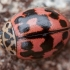 Lajinė boružė - Oenopia conglobata | Fotografijos autorius : Žilvinas Pūtys | © Macrogamta.lt | Šis tinklapis priklauso bendruomenei kuri domisi makro fotografija ir fotografuoja gyvąjį makro pasaulį.