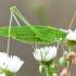 Lakštasparnis pjūklius - Phaneroptera falcata  | Fotografijos autorius : Gediminas Gražulevičius | © Macrogamta.lt | Šis tinklapis priklauso bendruomenei kuri domisi makro fotografija ir fotografuoja gyvąjį makro pasaulį.