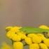 Lakštasparnis pjūklius - Phaneroptera falcata   Fotografijos autorius : Zita Gasiūnaitė   © Macrogamta.lt   Šis tinklapis priklauso bendruomenei kuri domisi makro fotografija ir fotografuoja gyvąjį makro pasaulį.