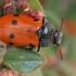 Klitra - Lachnaia tristigma | Fotografijos autorius : Gintautas Steiblys | © Macrogamta.lt | Šis tinklapis priklauso bendruomenei kuri domisi makro fotografija ir fotografuoja gyvąjį makro pasaulį.