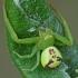Lapinis žiedulis - Ebrechtella tricuspidata   Fotografijos autorius : Gintautas Steiblys   © Macrogamta.lt   Šis tinklapis priklauso bendruomenei kuri domisi makro fotografija ir fotografuoja gyvąjį makro pasaulį.