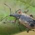 Lapinukas - Phyllobius glaucus | Fotografijos autorius : Gintautas Steiblys | © Macrogamta.lt | Šis tinklapis priklauso bendruomenei kuri domisi makro fotografija ir fotografuoja gyvąjį makro pasaulį.