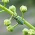Lapinukas - Phyllobius maculicornis | Fotografijos autorius : Vytautas Tamutis | © Macrogamta.lt | Šis tinklapis priklauso bendruomenei kuri domisi makro fotografija ir fotografuoja gyvąjį makro pasaulį.