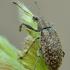 Lapinukas - Polydrusus cervinus | Fotografijos autorius : Arūnas Eismantas | © Macrogamta.lt | Šis tinklapis priklauso bendruomenei kuri domisi makro fotografija ir fotografuoja gyvąjį makro pasaulį.