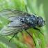 Lavonmusė - Bellardia stricta ♀ | Fotografijos autorius : Žilvinas Pūtys | © Macrogamta.lt | Šis tinklapis priklauso bendruomenei kuri domisi makro fotografija ir fotografuoja gyvąjį makro pasaulį.