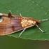 Lazdyninė agrotera - Agrotera nemoralis  | Fotografijos autorius : Gintautas Steiblys | © Macrogamta.lt | Šis tinklapis priklauso bendruomenei kuri domisi makro fotografija ir fotografuoja gyvąjį makro pasaulį.