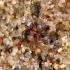 Kryžiuotasis lapažygis - Lebia cruxminor | Fotografijos autorius : Vitalii Alekseev | © Macrogamta.lt | Šis tinklapis priklauso bendruomenei kuri domisi makro fotografija ir fotografuoja gyvąjį makro pasaulį.