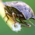Lenktagalvė vėžliablakė | Tortoise bug | Eurygaster testudinaria | Fotografijos autorius : Darius Baužys | © Macrogamta.lt | Šis tinklapis priklauso bendruomenei kuri domisi makro fotografija ir fotografuoja gyvąjį makro pasaulį.
