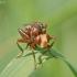 Lenktapilvė musė - Sicus ferrugineus | Fotografijos autorius : Gediminas Gražulevičius | © Macrogamta.lt | Šis tinklapis priklauso bendruomenei kuri domisi makro fotografija ir fotografuoja gyvąjį makro pasaulį.