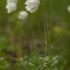 Lieknoji plukė - Anemonoides sylvestris | Fotografijos autorius : Žilvinas Pūtys | © Macrogamta.lt | Šis tinklapis priklauso bendruomenei kuri domisi makro fotografija ir fotografuoja gyvąjį makro pasaulį.
