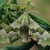 Liepinis sfinksas - Mimas tiliae | Fotografijos autorius : Gintautas Steiblys | © Macrogamta.lt | Šis tinklapis priklauso bendruomenei kuri domisi makro fotografija ir fotografuoja gyvąjį makro pasaulį.