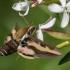 Lipikinis sfinksas - Hyles gallii | Fotografijos autorius : Dalia Račkauskaitė | © Macrogamta.lt | Šis tinklapis priklauso bendruomenei kuri domisi makro fotografija ir fotografuoja gyvąjį makro pasaulį.