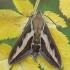 Lipikinis sfinksas - Hyles gallii | Fotografijos autorius : Žilvinas Pūtys | © Macrogamta.lt | Šis tinklapis priklauso bendruomenei kuri domisi makro fotografija ir fotografuoja gyvąjį makro pasaulį.