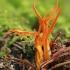 Lipnusis tampriagrybis - Calocera viscosa | Fotografijos autorius : Gintautas Steiblys | © Macrogamta.lt | Šis tinklapis priklauso bendruomenei kuri domisi makro fotografija ir fotografuoja gyvąjį makro pasaulį.