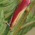 Liucerninis siaurasparnis ugniukas - Oncocera semirubella | Fotografijos autorius : Gintautas Steiblys | © Macrogamta.lt | Šis tinklapis priklauso bendruomenei kuri domisi makro fotografija ir fotografuoja gyvąjį makro pasaulį.