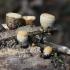 Lygusis tigliagrybis - Crucibulum laeve   Fotografijos autorius : Vytautas Gluoksnis   © Macrogamta.lt   Šis tinklapis priklauso bendruomenei kuri domisi makro fotografija ir fotografuoja gyvąjį makro pasaulį.