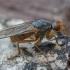 Mėšlamusė - Scathophaga suilla ♀ | Fotografijos autorius : Žilvinas Pūtys | © Macrogamta.lt | Šis tinklapis priklauso bendruomenei kuri domisi makro fotografija ir fotografuoja gyvąjį makro pasaulį.