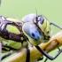 Mėlynžiedis laumžirgis - Aeshna cyanea | Fotografijos autorius : Kazimieras Martinaitis | © Macrogamta.lt | Šis tinklapis priklauso bendruomenei kuri domisi makro fotografija ir fotografuoja gyvąjį makro pasaulį.