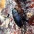 Mėlynasis blizgiavabalis | Fotografijos autorius : Vitalii Alekseev | © Macrogamta.lt | Šis tinklapis priklauso bendruomenei kuri domisi makro fotografija ir fotografuoja gyvąjį makro pasaulį.
