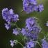 Mėlynasis palemonas - Polemonium caeruleum | Fotografijos autorius : Kęstutis Obelevičius | © Macrogamta.lt | Šis tinklapis priklauso bendruomenei kuri domisi makro fotografija ir fotografuoja gyvąjį makro pasaulį.