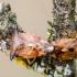 Mėlyninė skydblakė | Elasmucha ferrugata | Fotografijos autorius : Darius Baužys | © Macrogamta.lt | Šis tinklapis priklauso bendruomenei kuri domisi makro fotografija ir fotografuoja gyvąjį makro pasaulį.