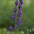 Mėlynoji kurpelė - Aconitum napellus | Fotografijos autorius : Kęstutis Obelevičius | © Macrogamta.lt | Šis tinklapis priklauso bendruomenei kuri domisi makro fotografija ir fotografuoja gyvąjį makro pasaulį.