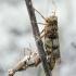 Mėlynsparnis tarkšlys - Oedipoda caerulescens | Fotografijos autorius : Kazimieras Martinaitis | © Macrogamta.lt | Šis tinklapis priklauso bendruomenei kuri domisi makro fotografija ir fotografuoja gyvąjį makro pasaulį.