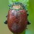 Mėtinis puošnys - Chrysolina polita | Fotografijos autorius : Žilvinas Pūtys | © Macrogamta.lt | Šis tinklapis priklauso bendruomenei kuri domisi makro fotografija ir fotografuoja gyvąjį makro pasaulį.