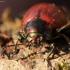 Mėtinis puošnys - Chrysolina polita | Fotografijos autorius : Ramunė Vakarė | © Macrogamta.lt | Šis tinklapis priklauso bendruomenei kuri domisi makro fotografija ir fotografuoja gyvąjį makro pasaulį.