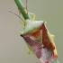 Krūminė skydblakė - Elasmostethus interstinctus    Fotografijos autorius : Arūnas Eismantas   © Macrogamta.lt   Šis tinklapis priklauso bendruomenei kuri domisi makro fotografija ir fotografuoja gyvąjį makro pasaulį.