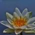 Mažažiedė vandens lelija - Nymphaea candida   Fotografijos autorius : Kęstutis Obelevičius   © Macrogamta.lt   Šis tinklapis priklauso bendruomenei kuri domisi makro fotografija ir fotografuoja gyvąjį makro pasaulį.