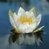 Mažažiedė vandens lelija - Nymphaea candida | Fotografijos autorius : Gintautas Steiblys | © Macrogamta.lt | Šis tinklapis priklauso bendruomenei kuri domisi makro fotografija ir fotografuoja gyvąjį makro pasaulį.