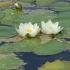 Mažažiedė vandens lelija - Nymphaea candida   Fotografijos autorius : Gintautas Steiblys   © Macrogamta.lt   Šis tinklapis priklauso bendruomenei kuri domisi makro fotografija ir fotografuoja gyvąjį makro pasaulį.