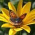 Mažasis auksinukas - Lycaena phlaeas | Fotografijos autorius : Vytautas Gluoksnis | © Macrogamta.lt | Šis tinklapis priklauso bendruomenei kuri domisi makro fotografija ir fotografuoja gyvąjį makro pasaulį.
