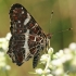 Mažasis dilgėlinukas - Araschnia levana | Fotografijos autorius : Gintautas Steiblys | © Macrogamta.lt | Šis tinklapis priklauso bendruomenei kuri domisi makro fotografija ir fotografuoja gyvąjį makro pasaulį.