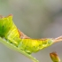 Didysis dviuodegis - Cerura vinula, vikšras | Fotografijos autorius : Oskaras Venckus | © Macrogamta.lt | Šis tinklapis priklauso bendruomenei kuri domisi makro fotografija ir fotografuoja gyvąjį makro pasaulį.