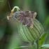 Mažasis geltosparnis dirvinukas - Cryptocala chardinyi | Fotografijos autorius : Žilvinas Pūtys | © Macrogamta.lt | Šis tinklapis priklauso bendruomenei kuri domisi makro fotografija ir fotografuoja gyvąjį makro pasaulį.