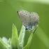 Mažasis melsvys - Cupido minimus | Fotografijos autorius : Vidas Brazauskas | © Macrogamta.lt | Šis tinklapis priklauso bendruomenei kuri domisi makro fotografija ir fotografuoja gyvąjį makro pasaulį.