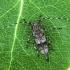 Mažasis pušiagraužis - Acanthocinus griseus | Fotografijos autorius : Vaida Paznekaitė | © Macrogamta.lt | Šis tinklapis priklauso bendruomenei kuri domisi makro fotografija ir fotografuoja gyvąjį makro pasaulį.