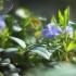 Mažoji žiemė - Vinca minor | Fotografijos autorius : Vidas Brazauskas | © Macrogamta.lt | Šis tinklapis priklauso bendruomenei kuri domisi makro fotografija ir fotografuoja gyvąjį makro pasaulį.