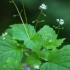 Mažoji dantenė - Circaea alpina | Fotografijos autorius : Ramunė Vakarė | © Macrogamta.lt | Šis tinklapis priklauso bendruomenei kuri domisi makro fotografija ir fotografuoja gyvąjį makro pasaulį.