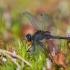 Mažoji skėtė - Leucorrhinia dubia | Fotografijos autorius : Dalia Račkauskaitė | © Macrogamta.lt | Šis tinklapis priklauso bendruomenei kuri domisi makro fotografija ir fotografuoja gyvąjį makro pasaulį.