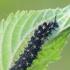 Mažojo dilgėlinuko - Araschnia levana vikšras | Fotografijos autorius : Gintautas Steiblys | © Macrogamta.lt | Šis tinklapis priklauso bendruomenei kuri domisi makro fotografija ir fotografuoja gyvąjį makro pasaulį.