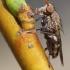 Sciomyzidae - Sraigžudė | Fotografijos autorius : Vilius Grigaliūnas | © Macrogamta.lt | Šis tinklapis priklauso bendruomenei kuri domisi makro fotografija ir fotografuoja gyvąjį makro pasaulį.